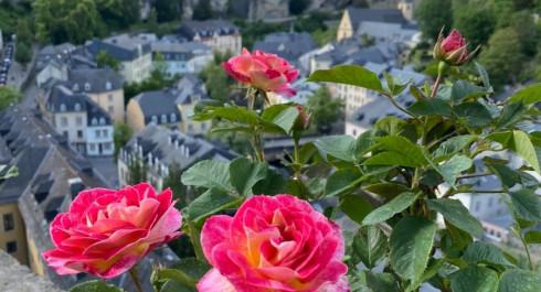 The Roses of Limpertsberg Circular Walk RosaLi